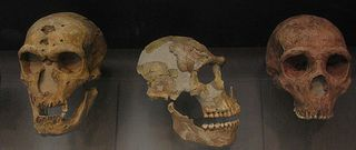 Neanderthalskulls